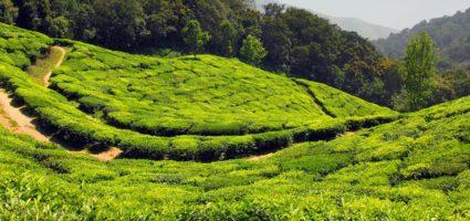 Чаени плантации